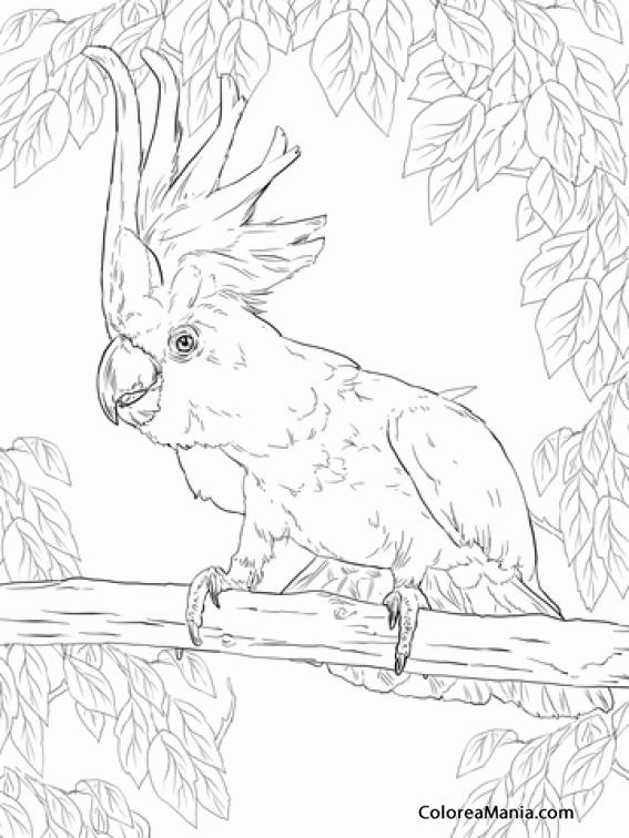 Colorear Cacatúa De Moño Amarillo Aves Dibujo Para