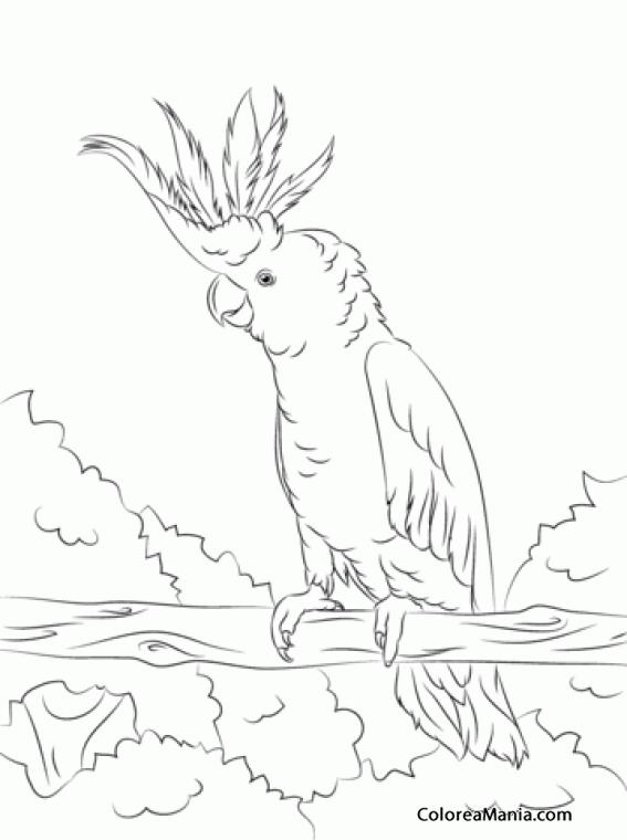 Colorear Cacatúa Sulfúrea Cacatúa Sulphurea Aves Dibujo