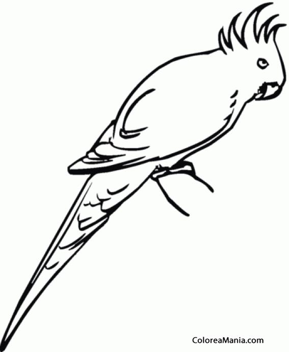 Colorear Cacatúa Galah O Cacatúa Rosada 2 Aves Dibujo
