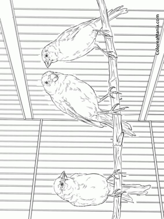 Colorear Tres Canarios En Una Jaula Aves Dibujo Para