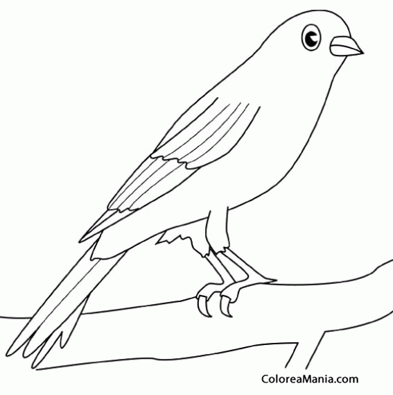 Colorear Canario en rama de árbol (Aves), dibujo para colorear gratis