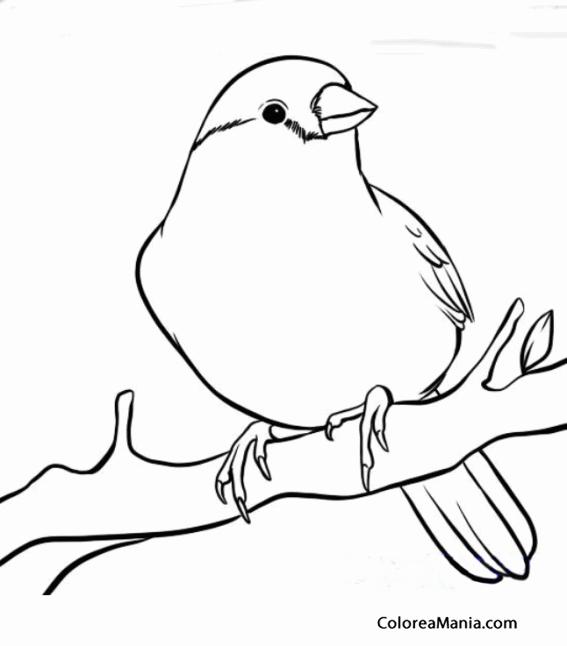 Colorear Precioso Canario en una rama (Aves), dibujo para colorear
